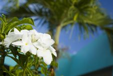 Free White Flowers With Palm Tree Stock Images - 8501724