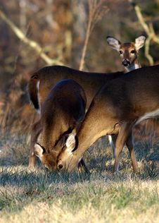 Free Deer Feeding Together Royalty Free Stock Photo - 8502045