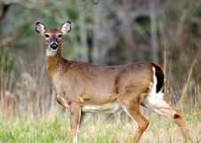 Free Doe Caught In Mid Stride Royalty Free Stock Image - 8502266