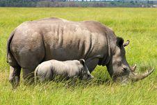White Rhinoceros With 5 Weeks Calf Stock Photo