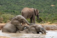 Free Young Elephants Romping Hapilly At Watering Place Stock Photos - 8502463