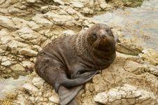 Free Seal Royalty Free Stock Photos - 8502528
