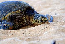 Green Sea Turtle 1 Stock Photo