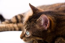 Free Brown Cat Royalty Free Stock Photography - 8503847