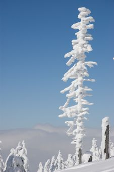 Free Winter - Snow-covered Trees Royalty Free Stock Images - 8504059