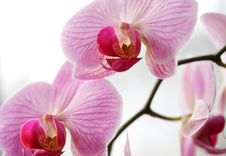Free Purple Orchid Royalty Free Stock Photography - 8505017