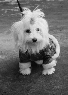 Free Fashionable Maltese Dog Royalty Free Stock Images - 8506969