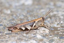 Free Locust With Protective Coloration Royalty Free Stock Photos - 8507528