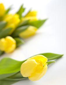 Free Fresh Yellow Tulips Stock Image - 8507601