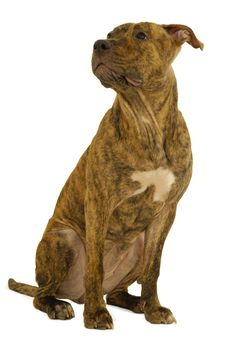 Free Staffordshire Terrier Dog Royalty Free Stock Photography - 8507607