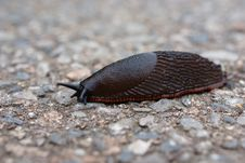Free Close Up Of A Slug Royalty Free Stock Photography - 8507977