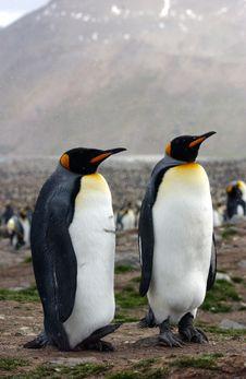 Free King Penguin Royalty Free Stock Photos - 8508548