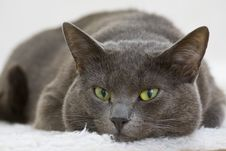 Free Gray Cat Stock Images - 8508884
