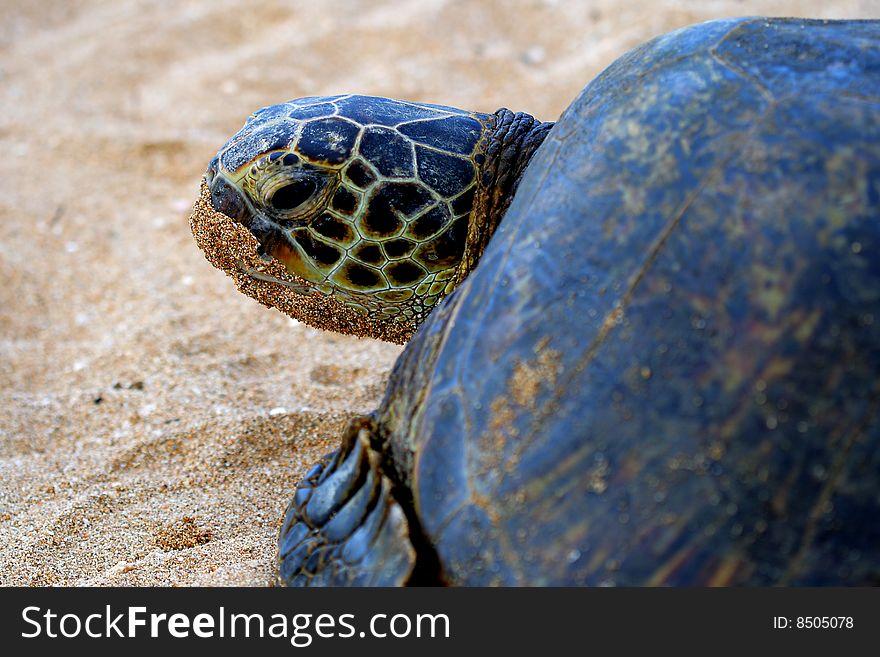 Green Sea Turtle 6