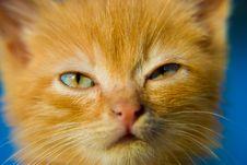Fluffy Red Kitten