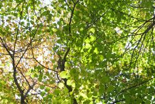 Free Trees Crown Stock Photography - 8512522