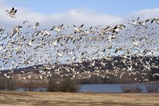 Free Snow Geese Royalty Free Stock Image - 8512556