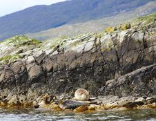Seals Resting Stock Photo