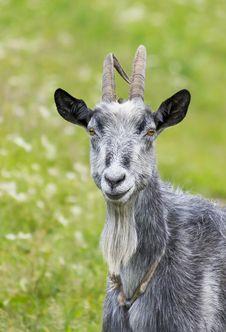 Free Goat Stock Photography - 8512892