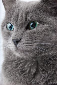 Free Grey Cat Stock Photos - 8513323