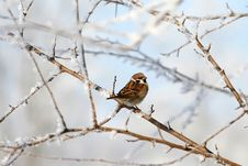 Free Sparrow Stock Photos - 8513533