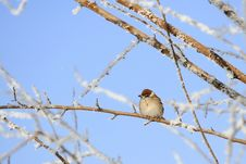 Free Sparrow Royalty Free Stock Photography - 8513537