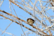Free Sparrow Stock Images - 8513544