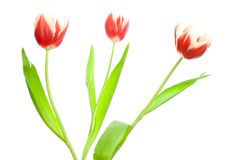 Free Bouquet Of Three Red-white Tulips Royalty Free Stock Photos - 8513828