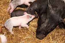 Free Piglets And Sow Stock Photography - 8514792