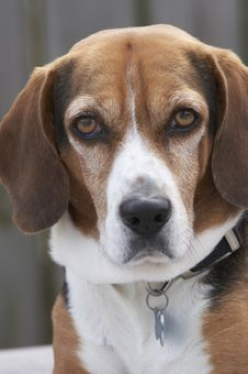 The Beagle Stock Photography