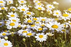 Camomile Field Under The Sunlight Royalty Free Stock Images