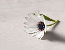 Free Beautiful Daisy Stock Images - 8515674