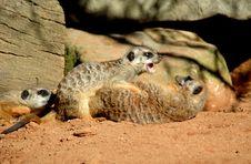 Free Meerkats Stock Photography - 8516282