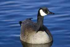 Free Canada Goose Floating On Lake Royalty Free Stock Photography - 8516607