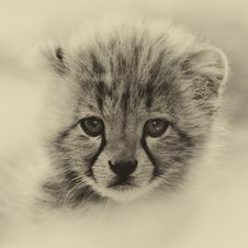 Free Cheetah Cub Royalty Free Stock Photos - 85128638