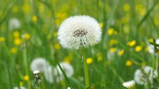 Free Dandelion On Green Grass Field In Shallow Focus Lens Stock Images - 85131954