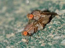Free Botflies Mating Close Up Photography Stock Image - 85135431