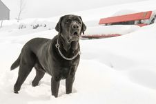 Free Black Dog In Snow Royalty Free Stock Photos - 85155168