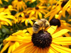 Free Bee On Yellow Flower Royalty Free Stock Images - 85155869