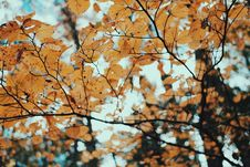 Free Dry Leaves In Autumn Tree Stock Photo - 85159780