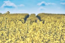Free Canola Field Stock Image - 85162401