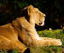 Free Lion Lying In Sun Stock Image - 85164691