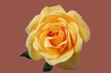 Free Yellow Rose Royalty Free Stock Photos - 85164808