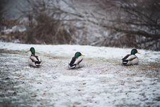 Free Ducks Stock Image - 85171731