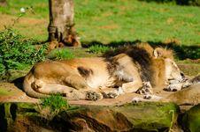 Free Sleeping Lion Stock Photos - 85174163