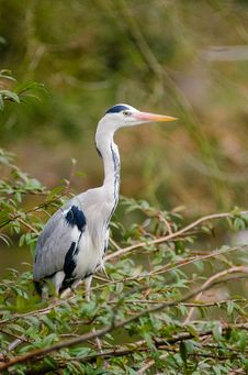 Free Grey Heron Stock Images - 85174734