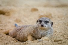 Free Meerkat Stock Photos - 85176183