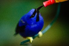 Free Shining Honeycreeper Royalty Free Stock Photos - 85176878