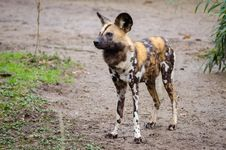 Free African Wild Dog Stock Image - 85177551