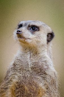 Free Meerkat Royalty Free Stock Photography - 85178637